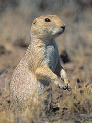 Download Gunnison's prairie dog MP3 Ringtones - 4257201 ...